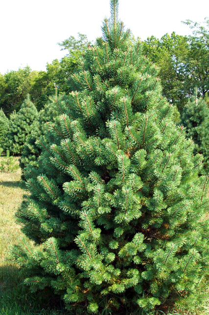 Used Christmas Trees For Sale